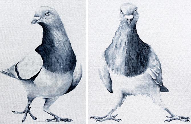 essay on pigeon